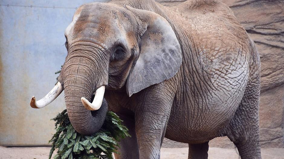 22 Kilogramm schwere Stoßzähne: Zimba ist im Opel-Zoo verstorben.