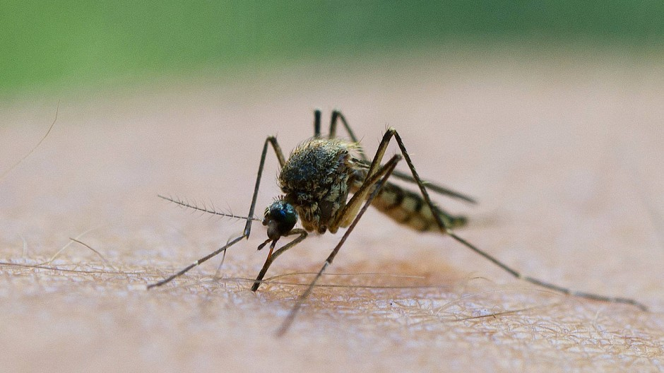 Blutsauger: Am Rhein zwischen Rastatt und Mainz haben sich zuletzt Stechmücken stark vermehrt - nun werden sie per Helikopter wieder bekämpft