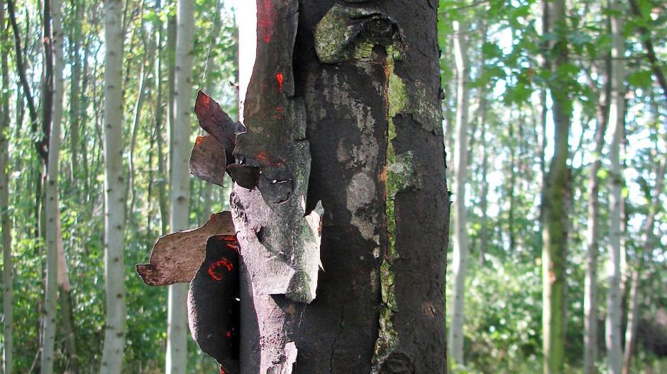 Aufgeplatzt: ein vom Rußrinden-Pilz befallener Baum