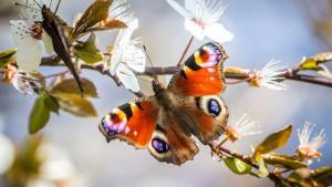 Schmetterlinge auf Blumenwiesen werden zur Rarität