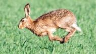 Unbekannte schneiden Hasen die Ohren ab