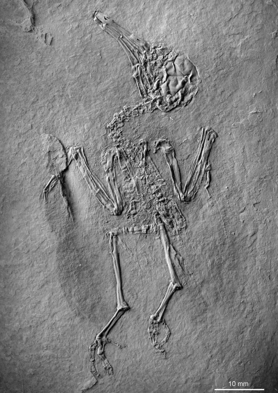 """Steinalt: """"Pumiliornis tessellatus"""" hat zu Lebzeiten Nektar gesaugt."""