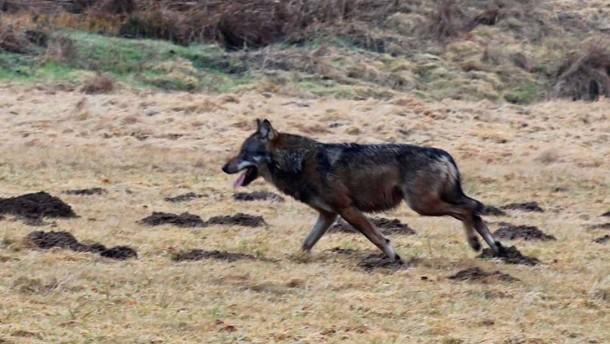 Der Wolf aus Mittelhessen lebt
