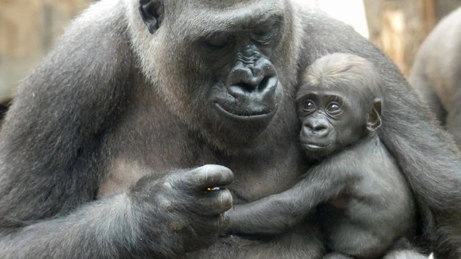 Geboren am 7. September: Gorilla Shira hält in ihrem Gehege im Frankfurter Zoo Sohn Arco in den Armen.