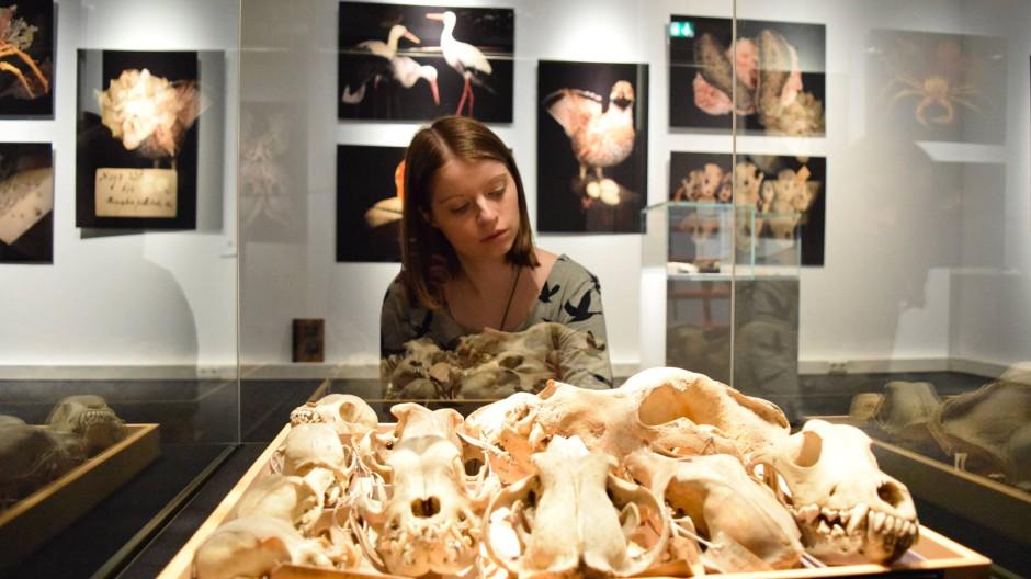 Objekt mit gruseliger Geschichte: Hundeschädel, die der Varietékünstler Karl Hopf gesammelt hat.