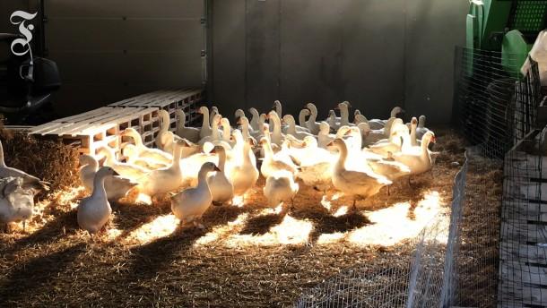 Strikte Hygiene und Beschäftigung  für eingesperrte Hühner