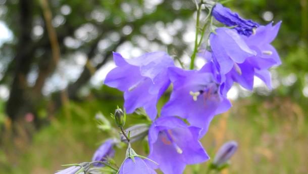 Rarität Lanzettblättrige Glockenblume ist bedroht