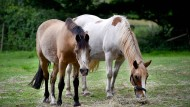 Auch Pferde können von einem Herpes-Virus infiziert werden. Der speziell auf die Tiere angepasste Virus ist auf den Menschen allerdings nicht übertragbar. (Symbolbild)