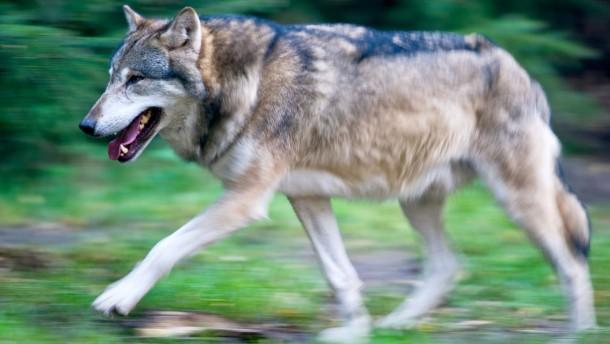 Westerwald-Wolf vor einem Jahr bei Gießen angefahren