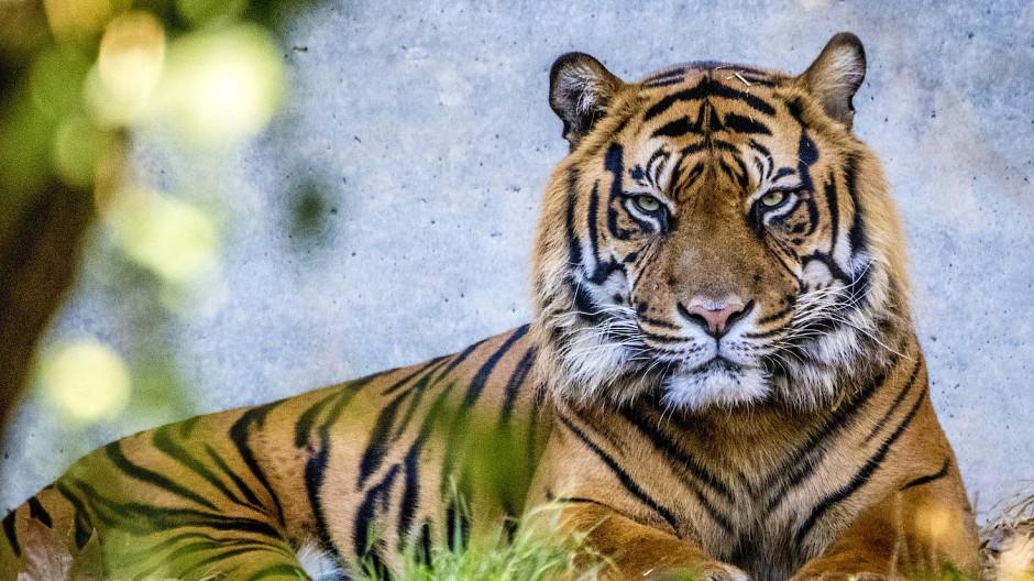 Selbstbewusster und angstfreier Tiger: Vanni wird den Tierpflegern als umgängliches Tier in Erinnerung bleiben.