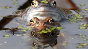 Nicht nur der Moorfrosch ist bedroht