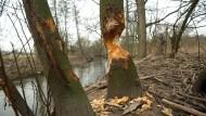Heißhunger auf Holz: Nagespuren von Bibern an Bäumen an der Kahl nahe Alzenau