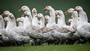 Nach Geflügelpest hebt Vogelsbergkreis Sperren wieder auf