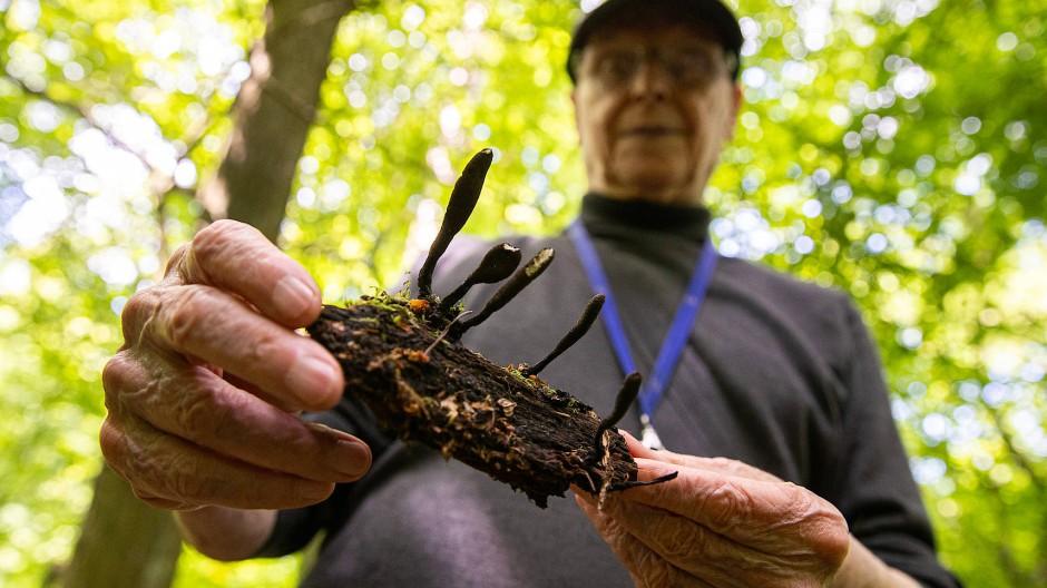 Nicht zum Verzehr geeignet: Fruchtkörper der Langstieligen Holzkeule, entdeckt von Dieter Gewalt