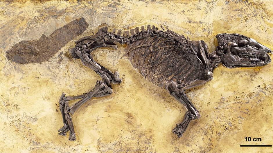 Fossile Vorlage: Dieses Skelett eines Urpferdchens wurde mittels Computertomographie, 3D-Druck und Präparation zum Leben erweckt.