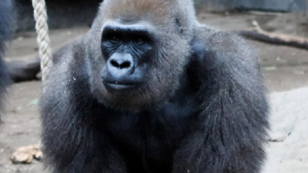 "Nach Gorilla-Baby auch Mutter ""Ruby"" tot"