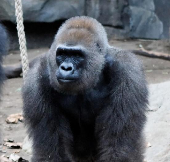 bild zu frankfurter zoo nach gorilla baby auch mutter. Black Bedroom Furniture Sets. Home Design Ideas