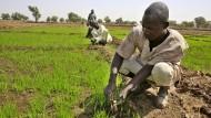 Mit Hilfe aus Eschborn: Ein nigerianischer Bauer pflanzt Reis.