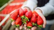 Forschungsobjekt: hessische Erdbeeren in Zeiten der Erderwärmung