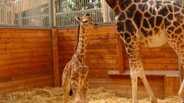 Beliebter Giraffenbulle stirbt an Störung des Darms