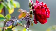Zu früh dran: Rose im Frankfurter Palmengarten