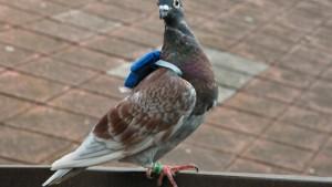 Besser die Taube im Haus als auf dem Dach