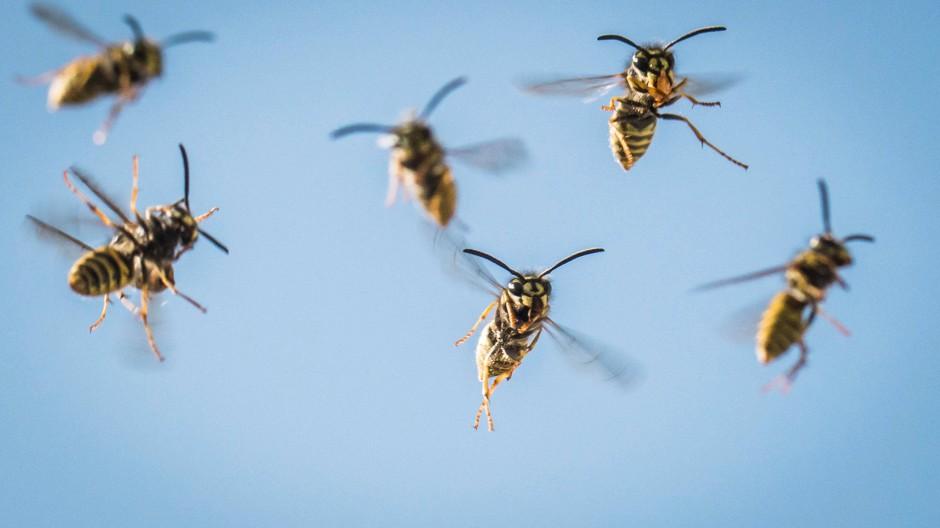 Im Anflug: Wespen