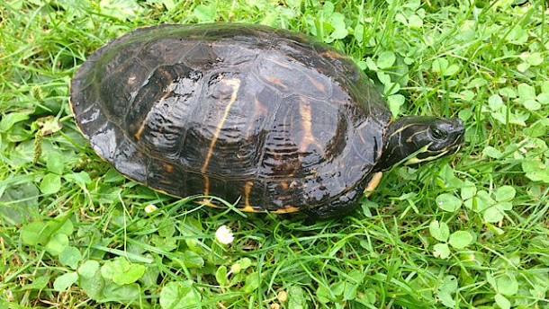 Schildkröte vor Radarfalle gelaufen