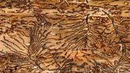 Labyrinth: das Fraßbild des Kupferstechers, einer Borkenkäferart, in der Rinde eines Nadelbaums