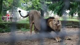 Mehr als 50.000 Euro für größeres Löwengehege