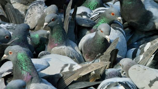 Mit der Lizenz zum Tauben-Töten