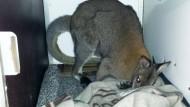 Ausgebüxtes Känguru wieder eingefangen