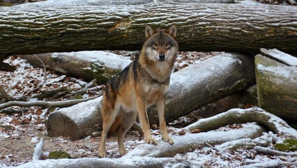 Entlaufener Wildpark-Wolf weiter auf freier Pfote