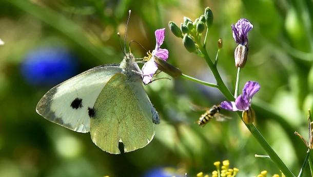 Schutz von Schmetterlingen nur mit Ausnahmegenehmigung