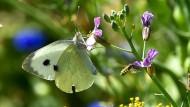 Labsal: Pflanzen auf Blühsteifen bieten für Schmetterlinge wie den Kohlweißling nicht nur Nahrung - die Insekten legen dort auch ihre Eier ab