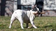 Gewohnte Größenordnung: ein kleiner Hund mit einem kleinen Stock (Symbolbild).