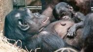 Nachwuchs bei den Bonobos