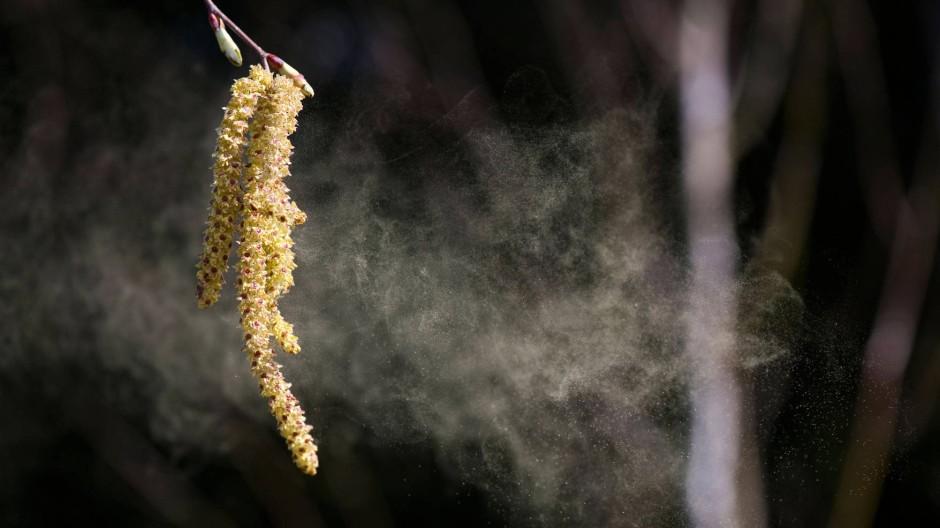 Derzeit der Hauptübeltäter: Birken versprühen ihre Pollen mit großer Energie.