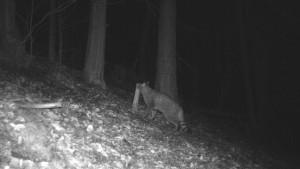 Seltene Wildkatzen wieder vermehrt in Hessen