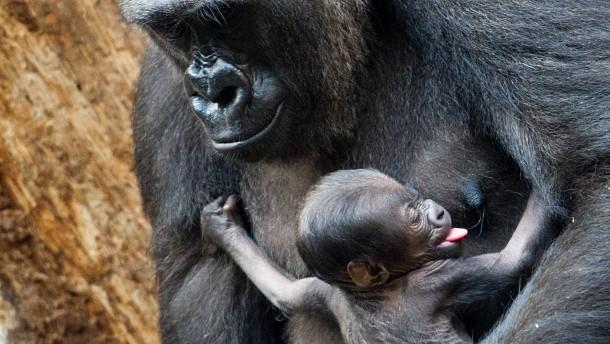 Gorilla-Baby Tandu an Durchfall gestorben
