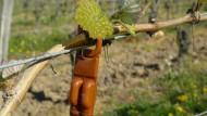 Biologische Schädlingsbekämpfung in den Rheingauer Weinbergen: Mit Lockstoff gefüllte Dispenser sollen Traubenwickler-Männchen von Weibchen ablenken