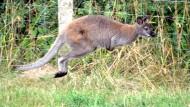 Weidezaun stoppt frei laufendes Känguru