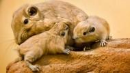 Kuschelweich: Die jungen Gundis schmiegen sich an ein älteres Tier.