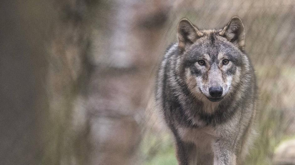 Zuwachs: Ein Wolfspaar im Rheingau hat Welpen – wie viele es sind, ist noch unklar. Der Wolf auf diesem Foto lebt in Klein-Auheim in einem Gehege