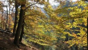 Land zerstört wertvollste Buchenwälder