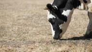 Weit und breit kein saftiges Grün: Eine Kuh beschnuppert dürres Gras