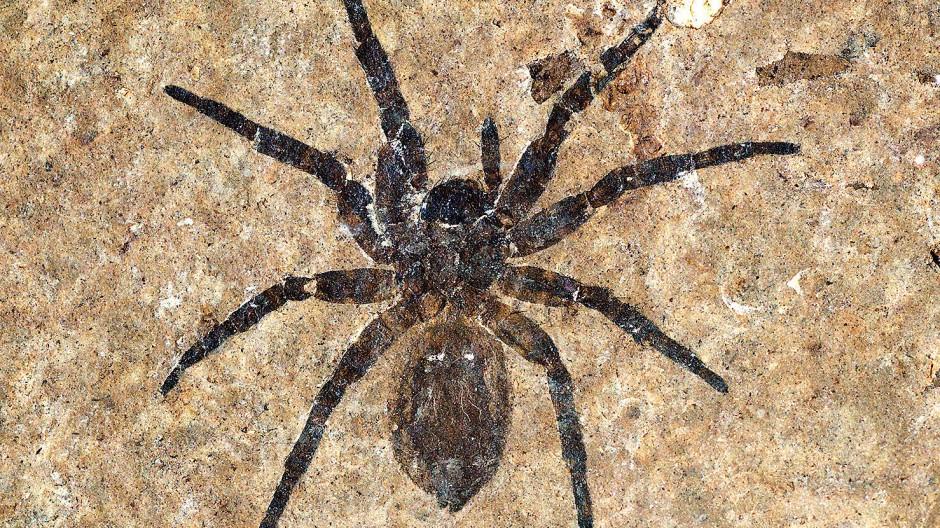 Besonderheit mit acht Beinen: das Fossil einer rund 20 Millimeter großen Spinne in der Grube Messel