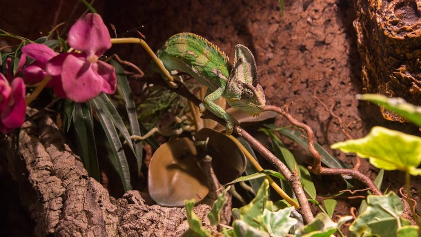 Grüner Baumschnüffler getarnt hinter Glas