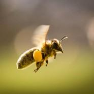 Sweetie: Honigbiene mit Pollen an den Beinen