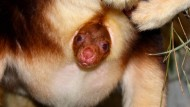 Guck´ mal da: Im April geborenes Baumkänguru-Baby schaut erstmals aus Mutters Beutel